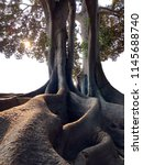 Exposed Giant Tree Roots From...