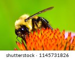 Bumblebee On Coneflower