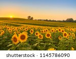 Sunflower Field In The Midwest...