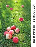 ripe apples on green grass    Shutterstock . vector #1145797829