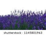 lavender flowers on white... | Shutterstock . vector #1145801963