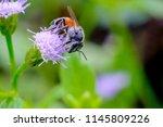 macro bee eating  sucking the... | Shutterstock . vector #1145809226