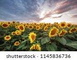 summer landscape. sunny field... | Shutterstock . vector #1145836736