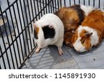 guinea pigs raised in cages | Shutterstock . vector #1145891930
