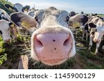 white cow close up portrait on...   Shutterstock . vector #1145900129