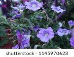 some pretty flower | Shutterstock . vector #1145970623
