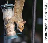 grey squirrel on a garden bird... | Shutterstock . vector #1146014033