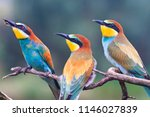family of birds european bee... | Shutterstock . vector #1146027839