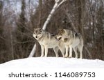 two timber wolves or grey... | Shutterstock . vector #1146089753