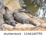 the crocodile park in mauritius.... | Shutterstock . vector #1146160790