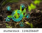 growing young maize seedling in ... | Shutterstock . vector #1146206669