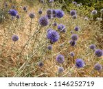 Flowers Of Blue Thistle Bloom...