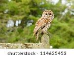 Tawny Owl On Fence   Tawny Owl...