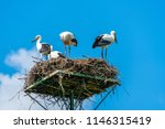 a white stork family  ciconia... | Shutterstock . vector #1146315419