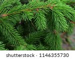 spruce tree branch   needles  ... | Shutterstock . vector #1146355730