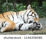 Sleeping Tiger In Wildlife Park