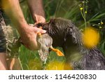 portrait of a german wirehaired ... | Shutterstock . vector #1146420830