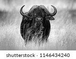 african buffalo  cyncerus cafer ... | Shutterstock . vector #1146434240