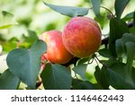 ripe apricots grow on a tree ... | Shutterstock . vector #1146462443
