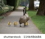 A Family Of Canadian Geese...