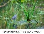 white wagtail or motacilla alba.... | Shutterstock . vector #1146497900