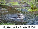 white wagtail or motacilla alba ... | Shutterstock . vector #1146497930
