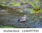 white wagtail or motacilla alba ... | Shutterstock . vector #1146497933