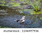 white wagtail or motacilla alba ... | Shutterstock . vector #1146497936