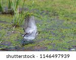 white wagtail or motacilla alba.... | Shutterstock . vector #1146497939
