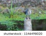white wagtail or motacilla alba.... | Shutterstock . vector #1146498020