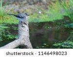 white wagtail or motacilla alba.... | Shutterstock . vector #1146498023