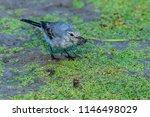 white wagtail or motacilla alba.... | Shutterstock . vector #1146498029