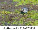 white wagtail or motacilla alba.... | Shutterstock . vector #1146498050