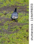 white wagtail or motacilla alba.... | Shutterstock . vector #1146498053