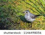 white wagtail or motacilla alba.... | Shutterstock . vector #1146498056