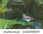 white wagtail or motacilla alba.... | Shutterstock . vector #1146498059
