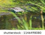 white wagtail or motacilla alba.... | Shutterstock . vector #1146498080