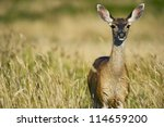 Elk Between Grasses of Redwood Forest in Northern California, USA. Wildlife Photo Collection. - stock photo