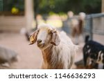the domestic goat or simply... | Shutterstock . vector #1146636293