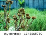 spiny weed close up. | Shutterstock . vector #1146665780