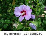 single hibiscus syriacus or... | Shutterstock . vector #1146688250