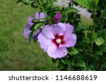 hibiscus syriacus or rose of... | Shutterstock . vector #1146688619