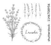 set of lavender flowers... | Shutterstock .eps vector #1146708956