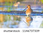 snipe with beautiful plumage and long beak