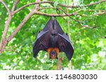Fruit bat hanging on tree in...