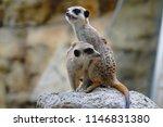 meerkat  suricata suricatta ... | Shutterstock . vector #1146831380