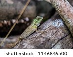 lizard tropical forests of... | Shutterstock . vector #1146846500