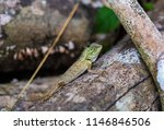 lizard tropical forests of... | Shutterstock . vector #1146846506