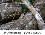 lizard tropical forests of... | Shutterstock . vector #1146846509