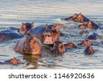 A Group Of Common Hippopotamus...